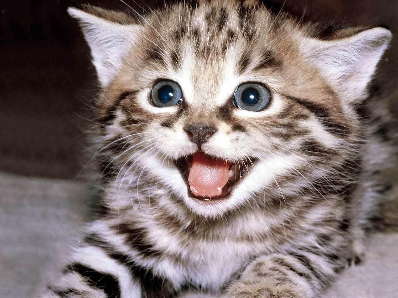Giống mèo Egyptian Mau