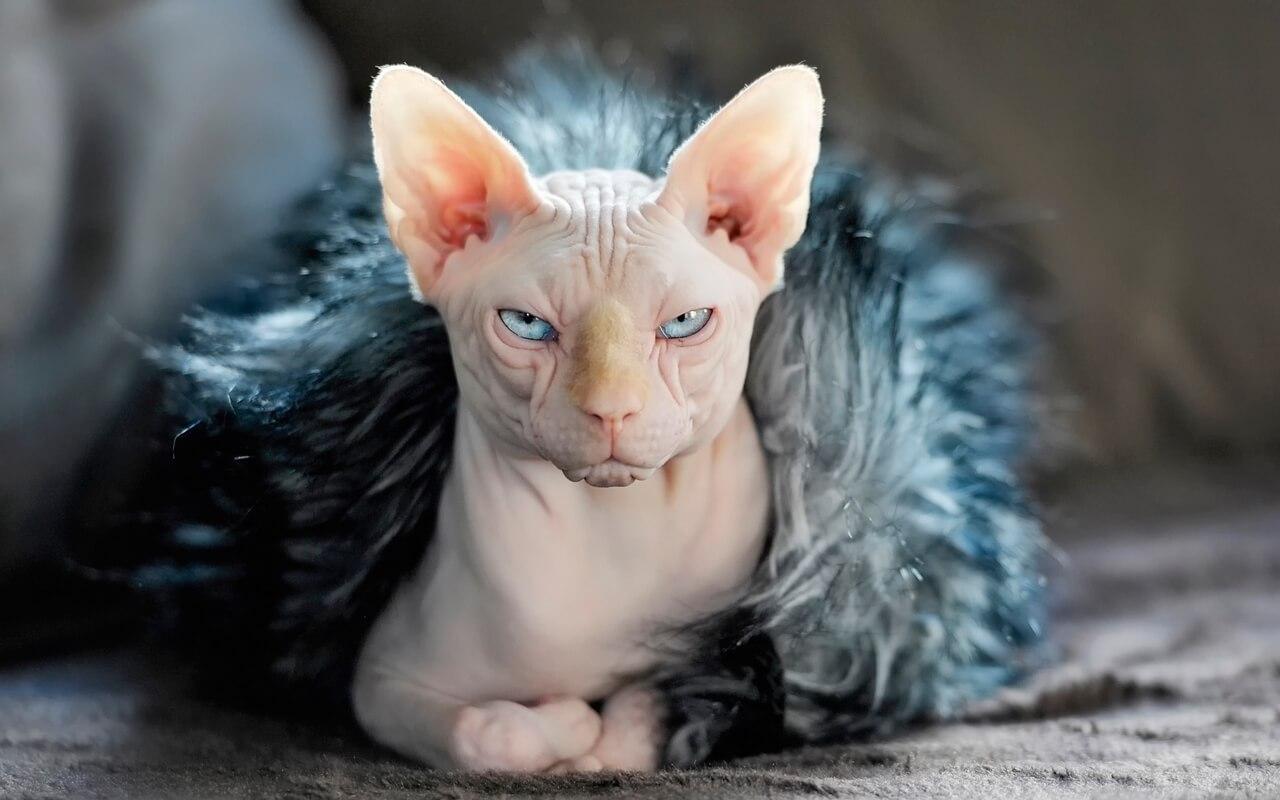 Mèo Ai Cập giống mèo đắt giá nhất thế giới